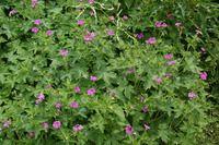 Thumbnail Geranium     x oxonianum 'Phoebe Noble' (des Handels)