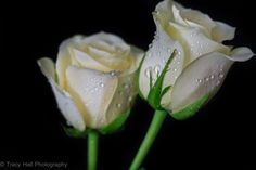 Creamy White Roses by Tracy Hall on 500px