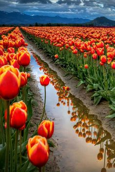 Tulips Flowers Nature wallpaper 2018 in Flowers Garden Wallpaper, View Wallpaper, Nature Wallpaper, Mobile Wallpaper, Tulips Garden, Tulips Flowers, Flowers Nature, Orange Flowers, Sunflowers