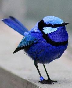 Little blue fairy wren How cute is this little bird? Pretty Birds, Love Birds, Beautiful Birds, Animals Beautiful, Cute Animals, Wild Animals, Blue Fairy, Tier Fotos, Mundo Animal
