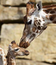3-Day-Old Baby Giraffe