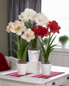 Coordinating blooming decor for a beautiful winter garden display with Amaryllis Nymph.