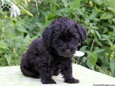 Lewie, Yorkie Poo puppy for sale in Gap, Pa