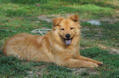 Golden Retriever Chow Mix - Insured by Laura English Mastiff, German Shepherd Wallpaper, Golden Retriever, Hate Cats, German Shepherd Mix, Collie Mix, Chow Chow, Dogs And Puppies, Doggies