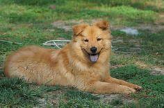 Golden Retriever - German Shepherd mix