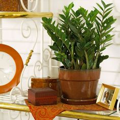bhg.com: Zeezee Plant ~ Because it grows with an underground storage unit, the zeezee plant can store water and go long periods of time without watering. It grows best in medium to bright light but can tolerate low light situations.