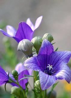 Balloon Flower, Chinese bellflower (Platycodon grandiflorum)