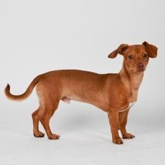 Suchi is a Dachshund mix who is available for adoption at our Mission campus!