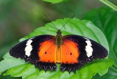 Malay Lacewing(Cethosia hypsea hypsina) photographed in Singapore