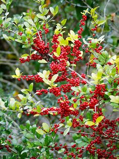 "Shrubs: Yaupon Holly  Shrubs: Yaupon Holly  Genus: Ilex vomitoria  Zones: 7 to 10  Cost: $12 to $30  Expert says: ""This drought-tolerant Texas native can grow to 15 feet or taller. In winter, its attractive red berries feed birds."" —John Dromgoole"