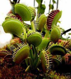 Etçil bitkiler veya etobur bitkiler, besinlerinin (ancak enerjilerini değil) bir kısmını veya çoğunu hayvanları ve protozoaları, genellikle böcekleri ve diğer eklem bacaklıları, yakalayıp yiyerek elde eden bitkilerdir. Etçil bitkilerin, toprağın ince veya besin maddelerince, özellikle azotun, az olduğu asidik turbalık ve kayalık gibi yerlerde büyümeye adapte oldukları görülür. Charles Darwin, etçil bitkiler üzerine bilinen ilk tezi Böcekçil Bitkiler adı altında 1875 yılında yazmıştır.