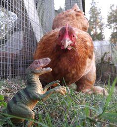 Chickens evolving from dinosaurs, backyard dino eggs for dinner! YUM!