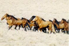 ACTION ALERT - Please Take 2 Minutes To Help Wild Horses To Stop The BLM's Summer Helicopter Stampede In The Nevada Desert!