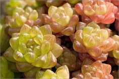 darlyne-a-murawski-close-up-of-succulent-window-haworthia