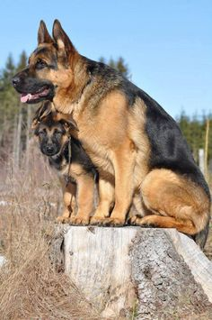 Training Your German Shepherd Dog - Champion Dogs I Love Dogs, Cute Dogs, German Shepherd Puppies, German Shepherds, Working Dogs, Beautiful Dogs, Mans Best Friend, Dog Life, Dog Pictures