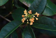 'Apricot Echo' Orange Sweet Olive (Repeat Flowering) osmanthus fragrans aurantiacas  (Yue Yue Hong)
