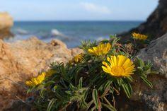 Dukaatbloem (Astericus maritimus) op Praia de Albandeira (Algarve, Portugal - april 2016)