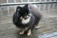 i will get a black pomeranian puppy when i graduate from A&M