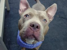 SAFE 5-3-2015 --- Manhattan Center ICE – A1034268 MALE, TAN / WHITE, AM PIT BULL TER MIX, 2 yrs OWNER SUR – EVALUATE, NO HOLD Reason OWNER SICK Intake condition EXAM REQ Intake Date 04/25/2015