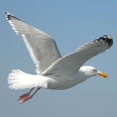 Nicolas Vanier, Image Nature Fleurs, Seagulls Flying, Shorebirds, Tier Fotos, All Birds, Bird Illustration, Am Meer, Bird Pictures