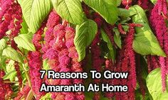 7 Reasons to Grow Amaranth At Home - Amaranth is a little like quinoa. Easier and quicker to grow than rice and wheat and best of all, easier to process. I grew some of this a few years ago and had fantastic results. In fact, I wish I planted some this year now!