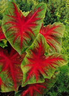 caladium as houseplants Backyard Plants, Outdoor Plants, Garden Plants, Big Plants, Shade Plants, Begonia, Elephant Ear Plant, Elephant Ears, Big Leaves