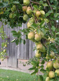 Pear tree in the orchard at Big Mill B&B in eastern North Carolina