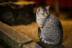 I saw a lot of cats in Fushimi Inari Shrine. All of them are so adorable!