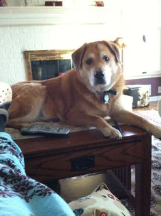 Sometimes Buddy can be such a bad boy.  Yes, that is my coffee table.