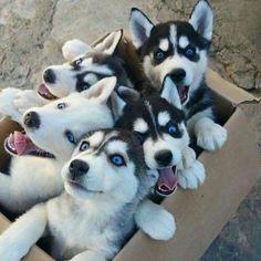 Siberian Husky - Puppy