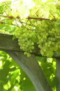 Pin now, read in the spring when we are ready to plant grapes!