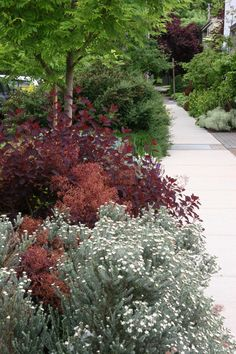 Westringia with purple Cotinus? (photo from Mosaic Gardens)