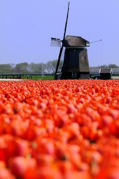 Holland Tulips Fields and Windmills