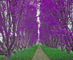 Flowers And Garden Ideas : Purple trees Sydney Australia Beautiful World, Beautiful Gardens, Beautiful Flowers, Beautiful Places, Beautiful Scenery, Amazing Places, Heavenly Places, Beautiful Forest, Peaceful Places