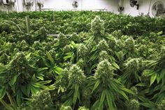 Medical marijuana bill moves forward in state House - Sun Sentinel (blog)
