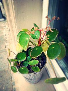 Rundblatt blüht <3 #rundblatt #blüte #ufopflanze #dresden #doppellotte