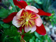 aquilegia - Yahoo Search Results Yahoo Image Search Results