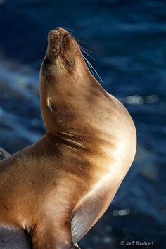 California sea lion by Jeff Grabert