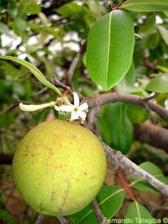 mangaba fruta Mais
