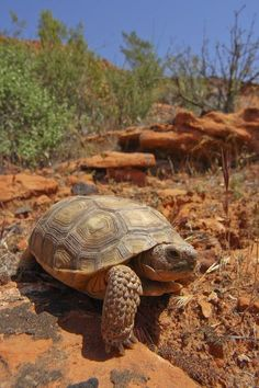 Mojave Desert Tortoise (Gopherus agassizii) is a federally protected species in the U. Red Cliffs Desert Reserve in Arizona was established in 1996 to provide the endangered tortoise with a suitable habitat. Tortoise Habitat, Tortoise Care, Tortoise Turtle, Giant Tortoise, Animals And Pets, Cute Animals, Wild Animals, Sulcata Tortoise, Russian Tortoise