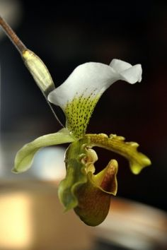 Cypripedium kentuckiense ~JMR~