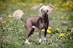 Hairless Dog (Cane Nudo): This breed was brought to Mexico in 1600, probably from Africa. It is also known as Canis africanus. Description The hairless dog is an elegant animal with a fine but sturdy bone structure and overall lines similar