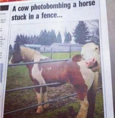 Cows are jerks.