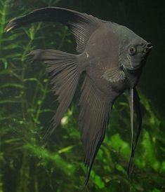 angelfish - Google zoeken