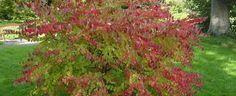 Cercidiphyllum japonicum by KMAC