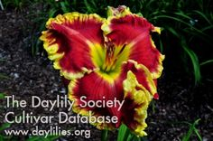 Daylily Face the Fire