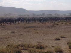 Serengeti migration - wildebeests and zebras,  #Tanzania #Africa
