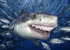 Great White Shark (Carcharodon Carcharias) Swimming Through a School of Smaller Fish by David Fleetham Shark Pictures, Shark Photos, Animal Pictures, Shark Week, Orcas, Sharks With Human Teeth, Photos Hd, Underwater Sea, Great White Shark