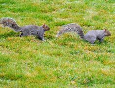 two squirrels running