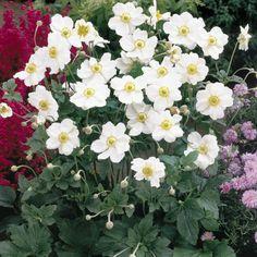Honorine Jobert Windflower (Anemone x hybrida Honorine Jobert) at Wayside Gardens